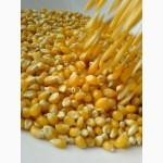 Кукуруза 3, 4 класса опт