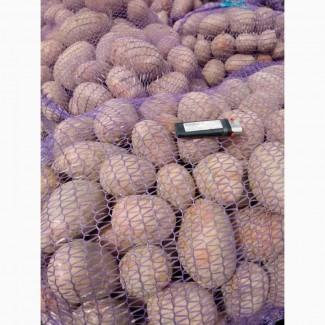 Продаем картофель оптом урожай 2018