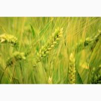 Продаем семена ржи озимой урожай 2019 года