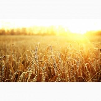 Пшеница яровая Симбирцит - семена