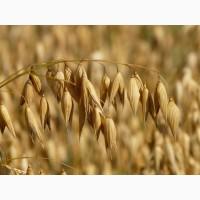 Семена овса Ровесник (СЭ, ЭС, РС-1