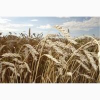 Семена пшеницы яровой Новосибирская 18 суперэлита