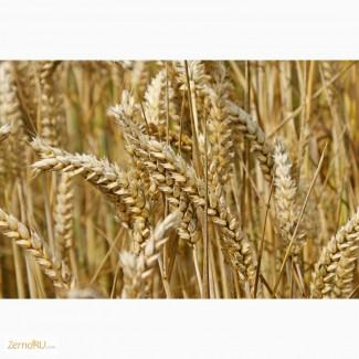 Пшеница 3 класс. FOB Новороссийск