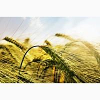 Пшеница яровая сорт Симбирка - семена
