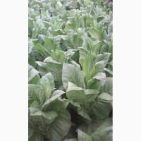 Продам семена табака.4 кг