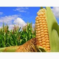 Канадский трансгенный гибрид кукурузы skeena ff 199 фао 250