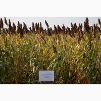 Продаем семена сорго зернового и сахарного 1 репродукции урожай 2017