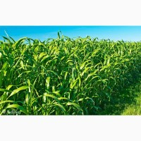 ООО НПП «Зарайские семена» закупаем семена сорго-суданский гибрид от 20 тонн
