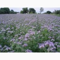 Реализуем оптом семена фацелии несортовой (РСт) - 195 руб./кг