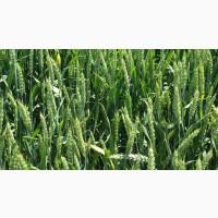 НОВИНКА! Семена озимой пшеницы ТИМИРЯЗЕВКА 150 ЭС