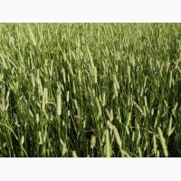 Семена тимофеевки луговой Нарымская (элита)