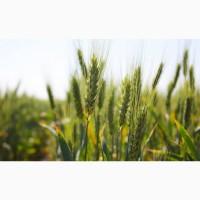 НОВИНКА! Семена озимой пшеницы СОБЕРБАШ ЭС