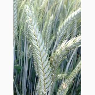 Семена озимой тритикале сорт Хлебороб и Тихон