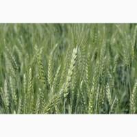 НОВИНКА! Семена озимой пшеницы КАВАЛЕРКА ЭС