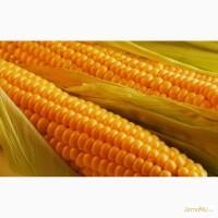 Kws - гибриды кукурузы