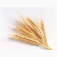 Пшеница 4 класс 300 тонн (Алтайский край)