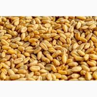Продаем пшеницу 3-4 класса
