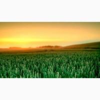 Пшеница оптом 3 класс
