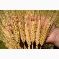 Пшеница яровая Прохоровка - семена