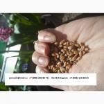 Пшеница 3, 4, 5 класс, ячмень, кукуруза Экспорт из РФ