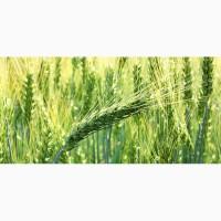 Семена озимой мягкой пшеницы Скипетр