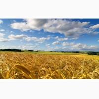 Пшеница оптом 4 класс
