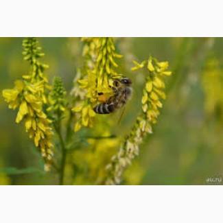 Закупаем семена донника желтого от 40 т