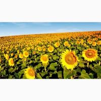 Гибриды семена подсолнечника Сумико (Сингента, Syngenta) (Express)