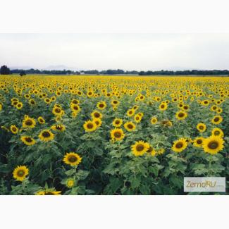 Семена гибридов подсолнечника Мегасан, Тунка, Голдсан, ЛГ 5550, ЛГ 5485