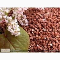 Продам: Семена гречихи Девятка и Дикуль