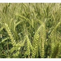 Семена озимой мягкой пшеницы Мироновская-808
