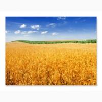 Пшеница оптом 5 класс