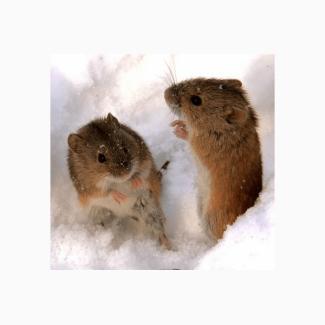 Продаём эффективное средство от мышей и крыс Бактокумарин