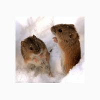 Продаем эффективное средство от мышей и крыс Бактокумарин
