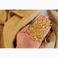 Пшеница яровая Омская 36 - семена