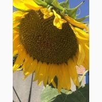 Семена подсолнечника гибрид Ультро
