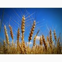 Пшеница 3, 4, 5 класс