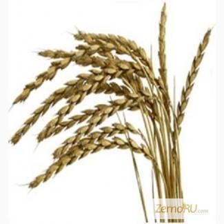 Купим пшеницу продовольственную