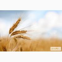 Предлагаем пшеницу 5 класса
