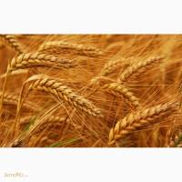 Оптовая продажа пшеницы 3 класса с клейковиной от 23 до 25%