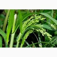 ООО НПП «Зарайские семена» продает семена пайзы и просо оптом
