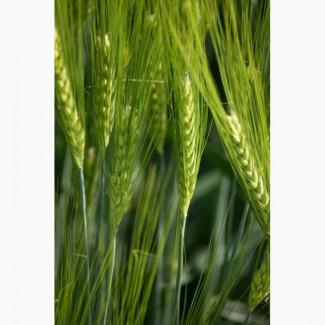 Пшеница яровая Любава - семена