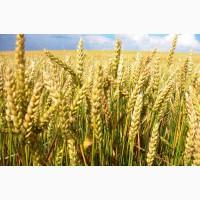 Покупаю пшеницу 4 класс