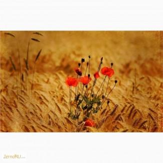 Оптовая продажа пшеницы 3 класса с клейковиной от 26% до 28%
