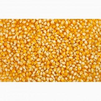 Куплю фуражную кукурузу урожая 2017 г. (оптом)