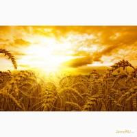 Оптовая продажа Пшеница 4 класса мягких сортов с клейковиной 20 - 22%