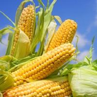 Кукуруза оптом 1, 2 класс