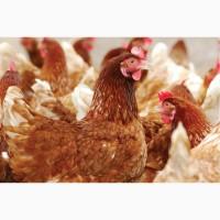 Премикс П5 для цыплят-бройлер в возрасте от 1 до 4 недель
