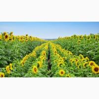 Гибриды семена подсолнечника ЛГ 5654 (Clearfield) (Лимагрейн, Limagrain)