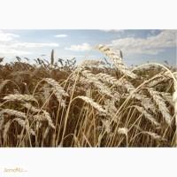 Продам семена Новосибирская 31
